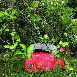 Kuvassa on punainen kuplavolkkari omenapuun alla.